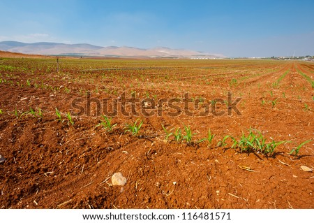 Sprinkler Irrigation on a Plantation of Young Corn in Israel - stock photo