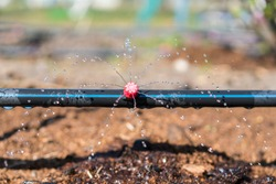 Sprinkler systems, drip irrigation, watering lawns. Drip Irrigation System Close Up. Water saving drip irrigation system being used in a organic onions field