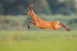 Sprinting roe deer (capreolus capreolus) buck in natural summer meadow with flowers. Dynamic action photo of wild animal running. Roebuck with big antlers jumping. Energetic vital male roe rushing.