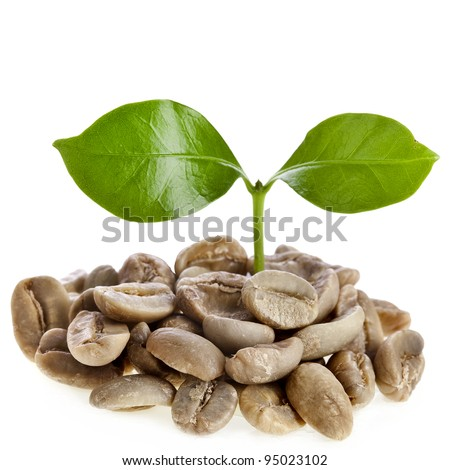 sprout  coffee tree with coffee beans , on white background