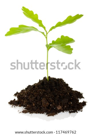 sprout oak tree isolated on white background