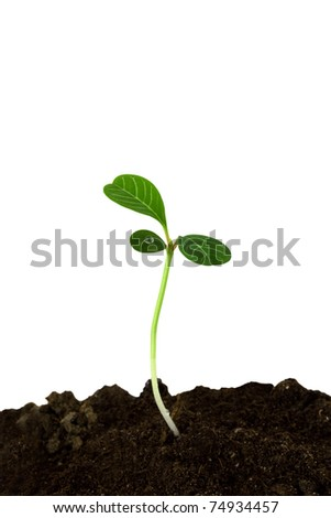 Sprout of a plant with three leaves isolated on a white background