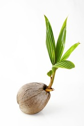 Sprout of coconut tree
