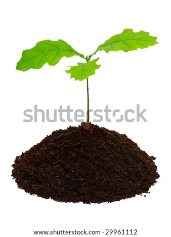 Sprout of oak with ground isolated on the white background.