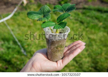 Sprout strawberries in a pot. Pot of strawberry in female hands. Gardening in the spring. Tuber seedling. Young strawberry in human hands #1057323107