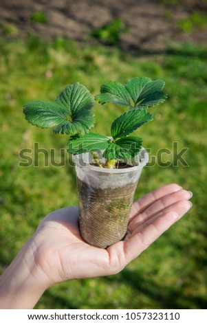 Sprout strawberries in a pot. Pot of strawberry in female hands. Gardening in the spring. Tuber seedling. Young strawberry in human hands #1057323110