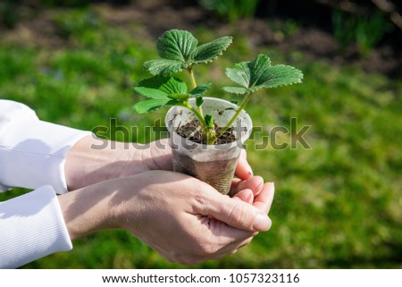 Sprout strawberries in a pot. Pot of strawberry in female hands. Gardening in the spring. Tuber seedling. Young strawberry in human hands #1057323116
