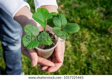 Sprout strawberries in a pot. Pot of strawberry in female hands. Gardening in the spring. Tuber seedling. Young strawberry in human hands #1057325465