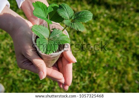 Sprout strawberries in a pot. Pot of strawberry in female hands. Gardening in the spring. Tuber seedling. Young strawberry in human hands #1057325468