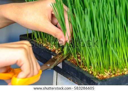 Sprout Wheat, Close up hand cutting wheat grass with scissors for making Wheat grass juice #583286605