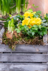 Sprouted bulbs of daffodils in decoration moss and blooming primrose in a wooden box for seasonal arrangement. Rustic floral spring Easter garden design for vintage floral background.
