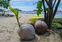 Sprouted coconut on a beach in El Nido, Palawan, Philippines