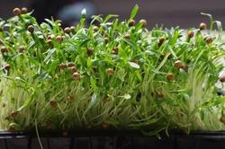 sprouted Coriander seeds. Coriander microgreens. Germinate Cilantro seeds