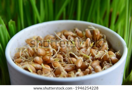 Sprouted wheat seeds in a white  bowl on a  blurred green stems background.Wheatgerm. Healthy diet, vegetarian food or superfood concept with copy space. Stock photo ©