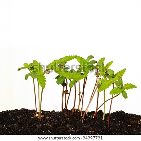 Sprouting Seedlings With White Background