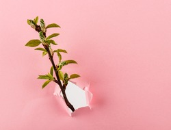 Sprouts and buds with copy space. Leaves breaking through pastel pink paper. Growing and spring concept.