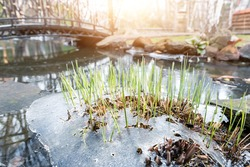 Sprouts of fresh new first green cane reed growing breakthrough frozen water ice crust on pond or river against shining sun at warm spring day. Nature awakening scene concept. Thaw melt snow weather.