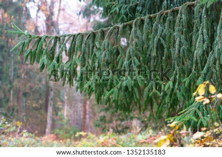 spruce branch, a branch of a coniferous tree #1352135183