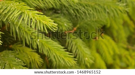 Spruce branch. Beautiful branch of spruce with needles.