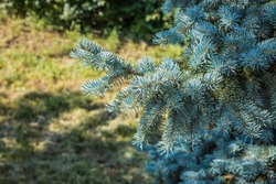 Spruce branch. Beautiful branch of spruce with needles. Christmas tree in nature. Green spruce. Blue Spruce close up