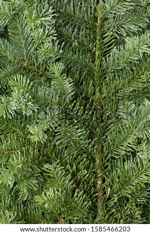 Spruce branch. Fir branch. A branch of an evergreen tree. Christmas background. New year background. Coniferous branches. Texture of coniferous branches.