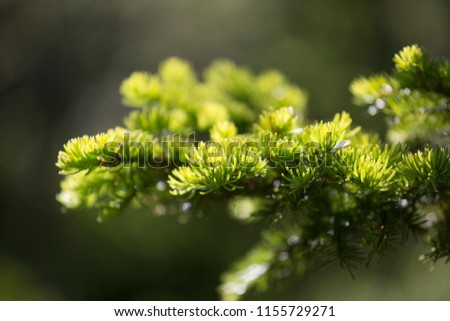 Spruce branch, illuminated by the sun, shallow depth of field