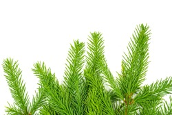 Spruce branch isolated on white background. Green fir. Christmas tree
