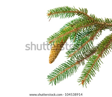 spruce branch with cone isolated on white background
