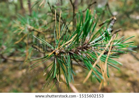 Spruce branch with needles closeup. Closeup with blurred background.