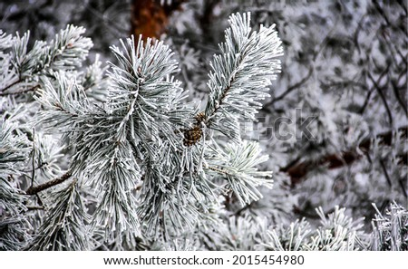 Spruce branches in snow and frost. Winter snow scene. Christmas scene in winter snow