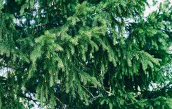 Spruce branches in the forest. Beautiful branch of spruce with needles. Christmas tree in nature. Green spruce. Spruce close up.
