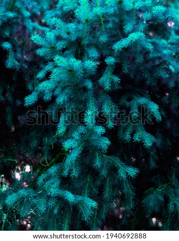 Spruce branches in the forest. Beautiful branch of spruce with needles. Tinted tree in nature. Blue spruce. Spruce close up.