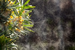Spruce branches that releases a cloud of pollen