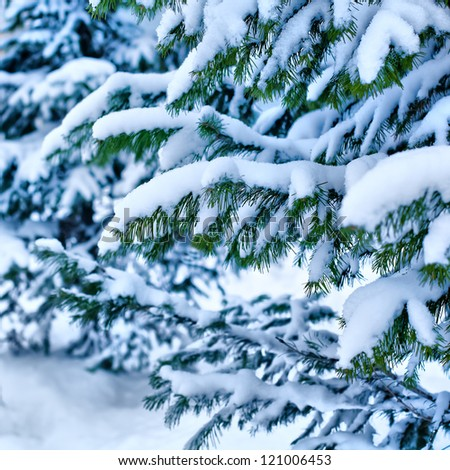 Spruce branches with snow