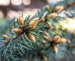 Spruce buds in spring. Pine buds. Christmas tree cones. Background spruce lumps.