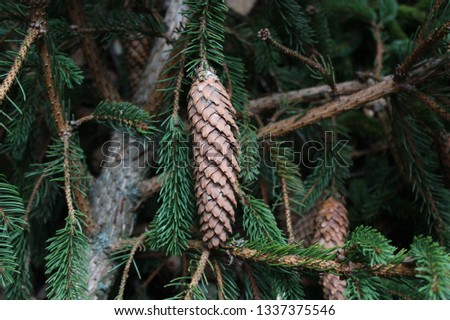 spruce cone on a spruce #1337375546