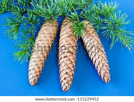 Spruce cones and branch on blue background. Three spruce cones with a fir tree branch isolated on a blue background