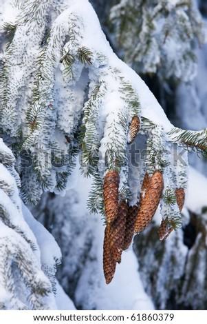 Spruce Cones - Picea Abies