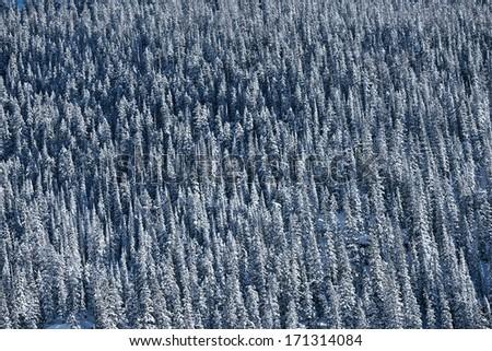 Spruce-Fir Forest Background. Winter Alpine Forest Background.