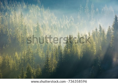 spruce forest in fog on hillside at sunrise. gorgeous nature background in autumn