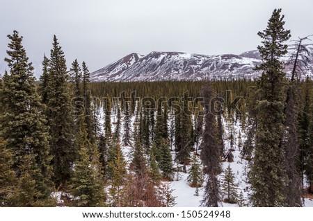 Spruce forest in the Alaska Range.
