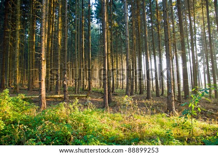 Spruce forest in the early morning light