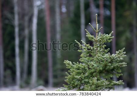 Spruce in a wintry Sweden. #783840424