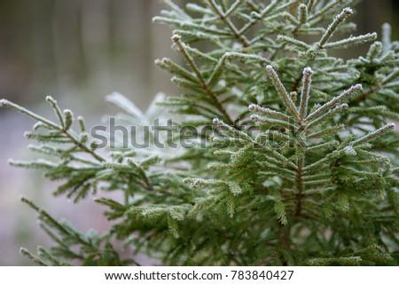 Spruce in a wintry Sweden. #783840427