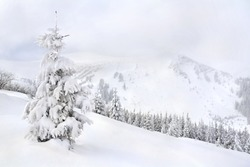 Spruce in snow. Winter landscape of mountains in fir tree forest and glade in snow. Carpathian mountains