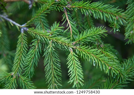 Spruce is an evergreen conifer, a symbol of the New Year and Christmas. From the branches, like twigs, small twigs with small needles hang down. The needles have a fresh resinous aroma. #1249758430