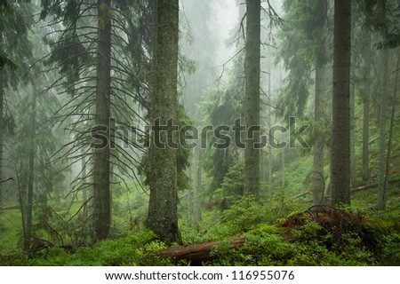 spruce mystery forest