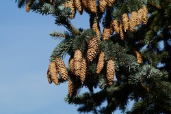 Spruce Picea,  a type of evergreen trees of the pine family (Pinaceae). Pine cone on a conifer.