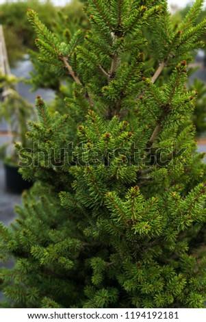 Spruce (Picea abies 'Will's Zwerg') Zdjęcia stock ©