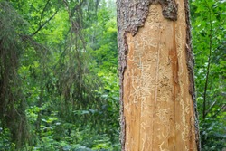 Spruce pine tree bark beetle tunnels infection bark close-up